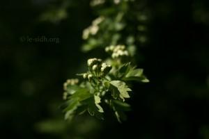 aubépine-boutons-de-fleurs