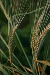 blé-barbu