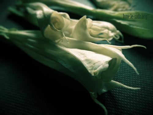 Datura. Fleurs. Photo : Lune
